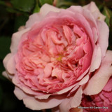 Princess Alexandria of Kent - David Austin English Shrub Rose