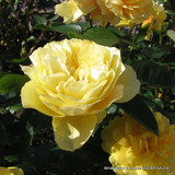 The Poet's Wife - David Austin English Shrub Rose