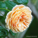 Crown Princess Magareta - David Austin English Shrub Rose