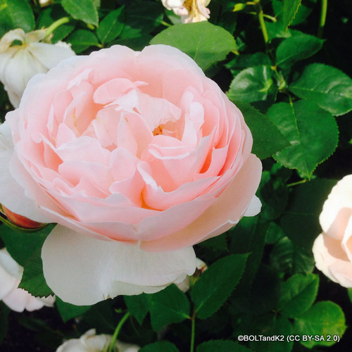 David Austin Rose - Gentle Hermione