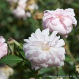 Cecil Brunner - Climbing Rose