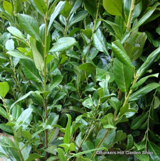 Cherry laurel 40-60cm