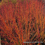 Cornus alba - Red Dogwood