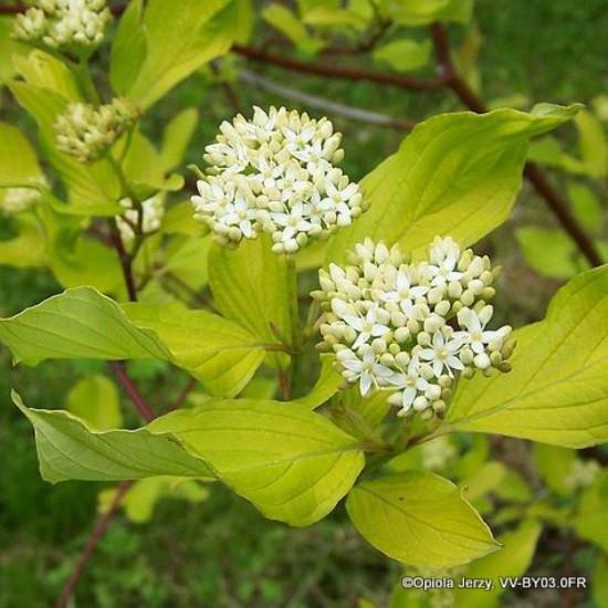 Cornus alba - Red Dogwood