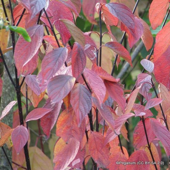 Cornus alba Kesselringii - Purple Stemmed Dogwood