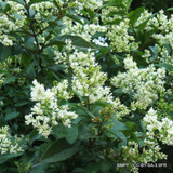Ligustrum ovalifolium - Privet