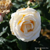 Creme de la Creme - Climbing Rose