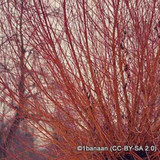 Salix alba 'Chermesina' - Scarlet Willow