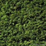 Taxus baccata - English Yew