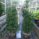 Taxus baccata - English Yew