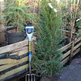 1 x Taxus baccata (Yew) 125-150cm rootballed BULK RATES AVAILABLE
