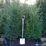 1 x Taxus baccata (Yew) 150-175cm rootballed BULK RATES AVAILABLE