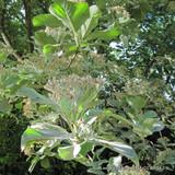 Sorbus aria 'Lutescens' - Whitebeam