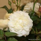 Felicite Perpertue - Climbing Rose