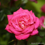 Gloriana - Climbing Rose