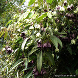 Holboelia coriacea, Sausage Vine- 4ltr pot.