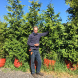 Thuja plicata (Western Red Cedar) - 8-9ft