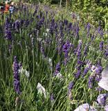 Hidcote Lavender - 2 Litre