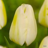 Tulip 'Sunny Prince' - 11, 100 or 250 Bulbs