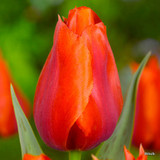 Tulip 'Orange Cassini' - 12, 100 or 250 Bulbs