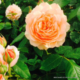David Austin Rose 'Dame Judi Dench'