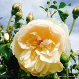 David Austin Rose 'Lichfield Angel'