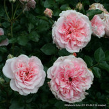 Rose 'Lilac Wine'