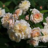 Rose 'Celine Forestier'