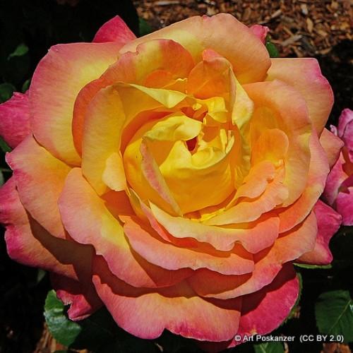 Rose 'Baby Masquerade'