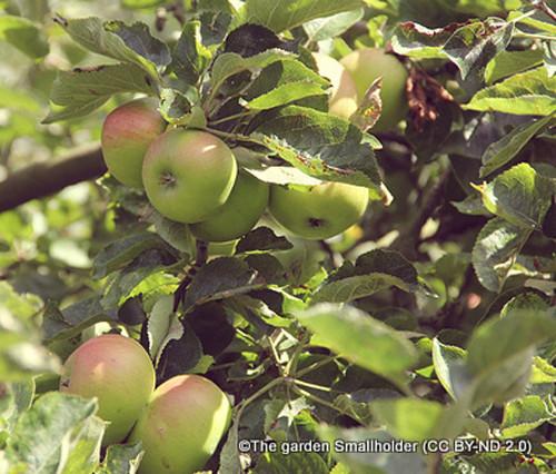 Apple Arthur Turner
