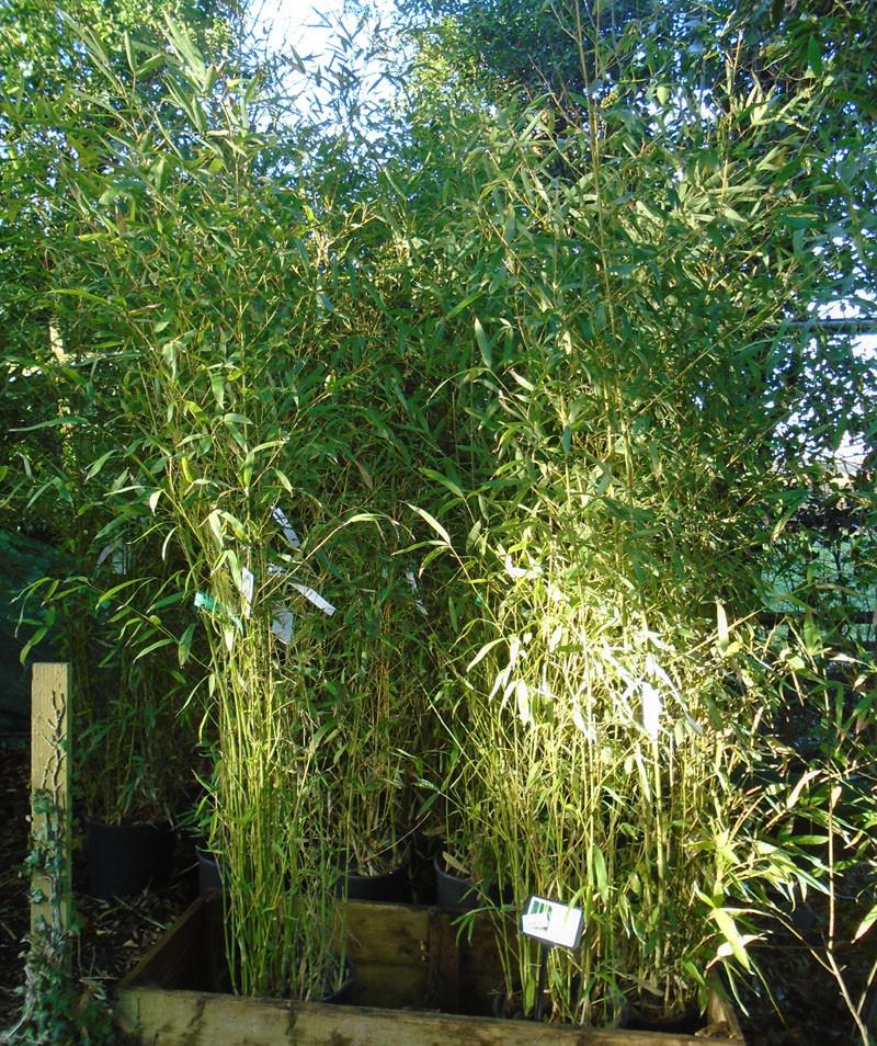 Golden Bamboo Phyllostachys aurea