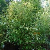 Phyllostachys bissetii