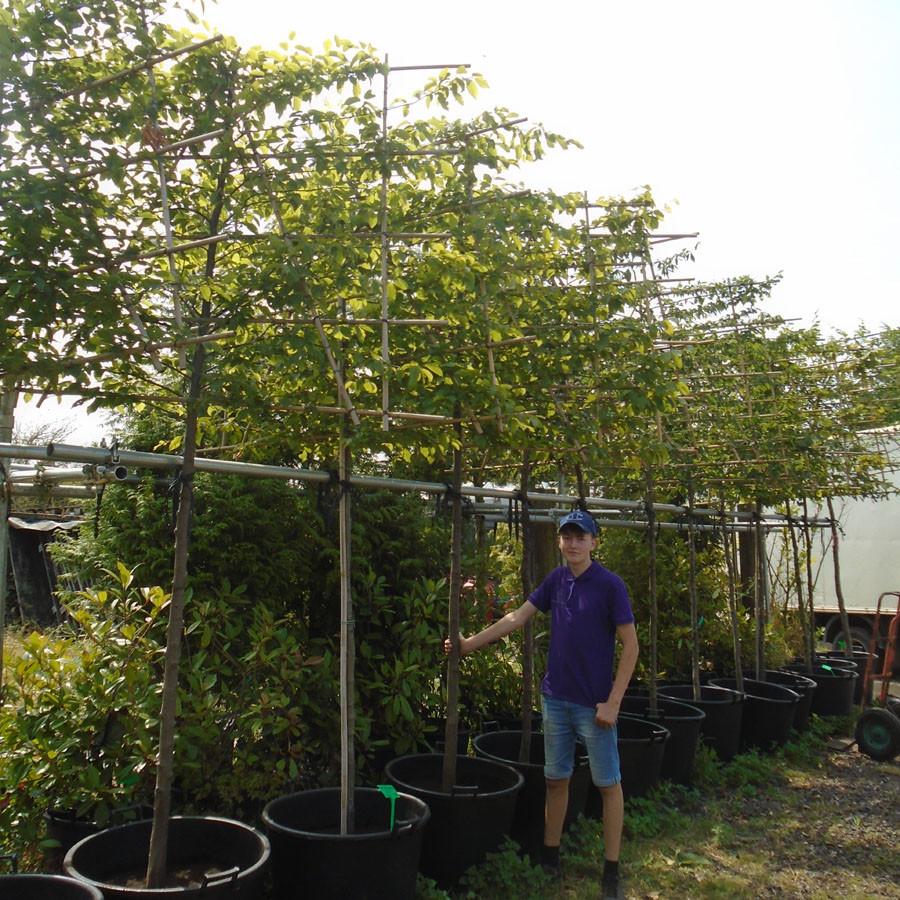 Pleached Hornbeam - Quercus ilex