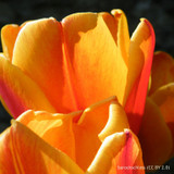 Tulip Beauty of Apeldoorn