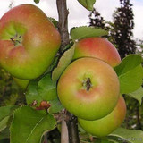 Apple 'Bramley Seedling' Fan-trained 2yr tree on MM106 rootstock