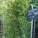 Phyllostachys aurea (Golden Bamboo) - 9-10ft