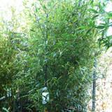 Phyllostachys nigra (Black Bamboo) - 9-10ft
