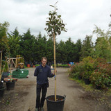 Magnolia grandiflora 'Gallisoniensis' standard