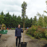 Quercus ilex (Holm/Evergreen Oak) 8/10cm - 10ft Standard