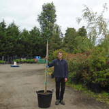 Quercus ilex (Holm/Evergreen Oak) 10/12cm - 10ft Standard
