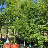 Carpinus betulus 'Fastigiata' (Fastigiate Hornbeam) 12/14cm - 15ft tall