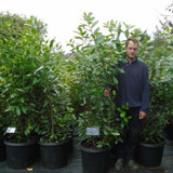 Prunus laurocerasus 'Novita' - Cherry Laurel