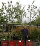 Sorbus aria'Lutescens' - Whitebeam