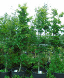 Fagus sylvatica (Green Beech) 14/16cm - 14ft tall