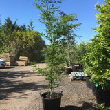 Fagus sylvatica 'Asplenifolia' (Cut-Leaved Beech) - 7-8ft tall