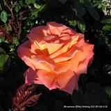 Rose Troika