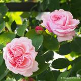 Rose St Swithun