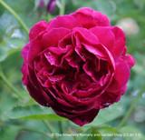 Rose Thomas a Beckett