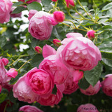 Rose Royal Jubilee