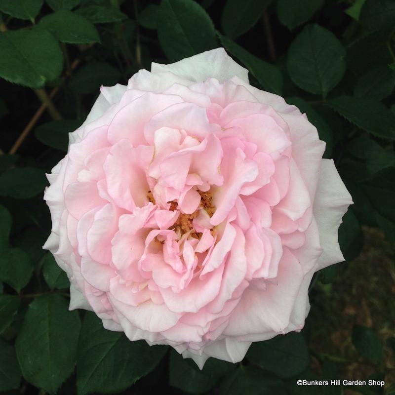 Rose Lady Salisbury
